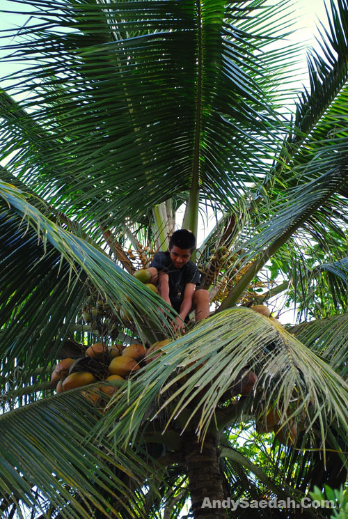 Pluck the coconut